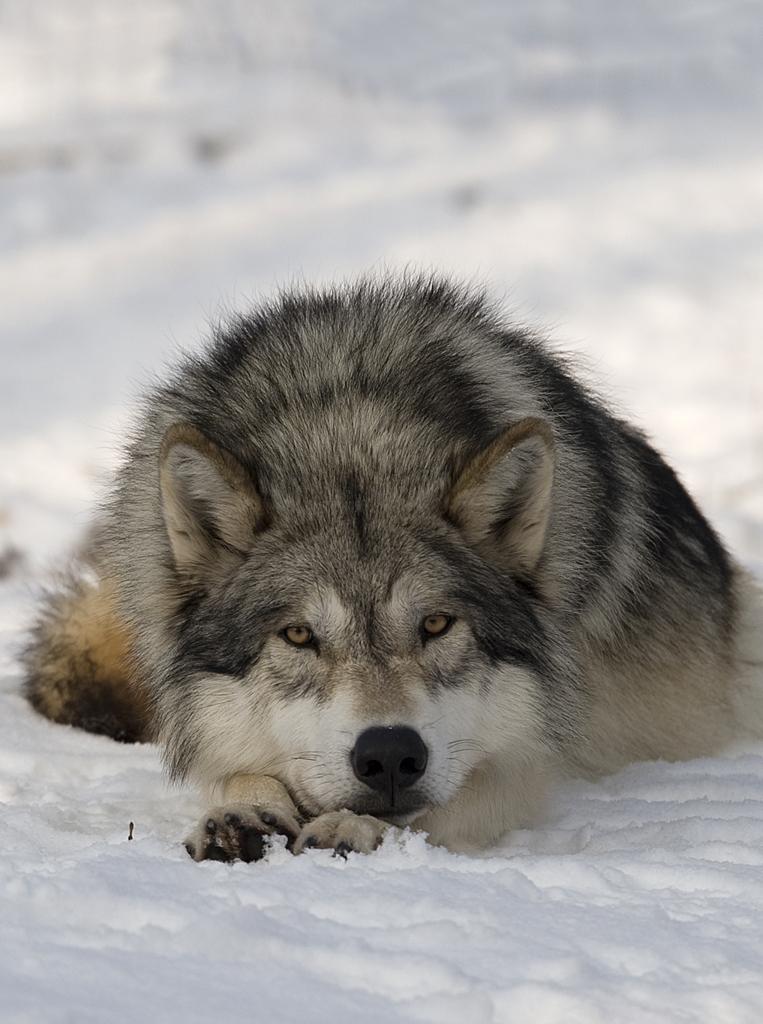 Der Wolf (Foto Walter Vorbeck)